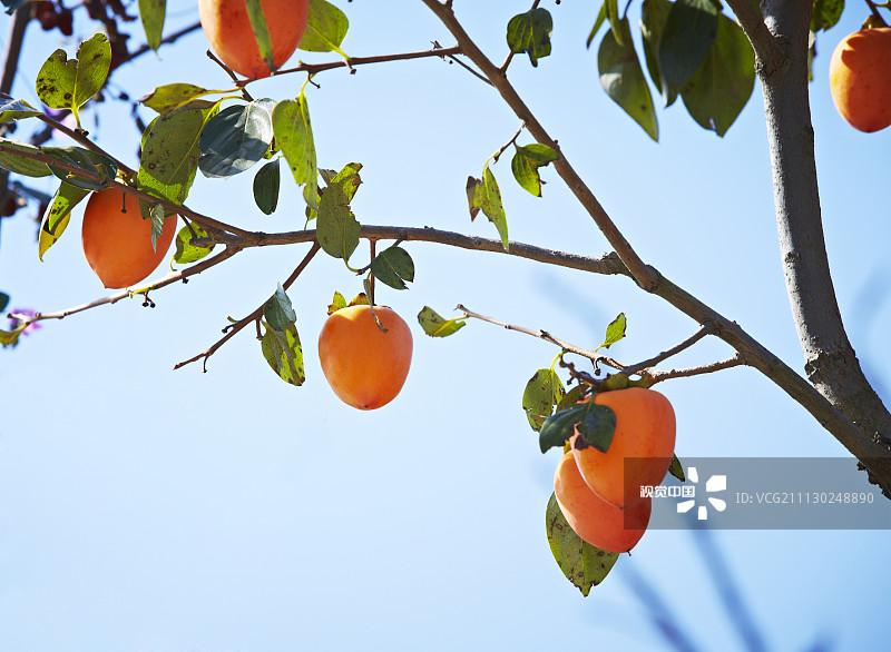 季节 工厂 柿子 柿子树 秋天 树 户外 植物志 枝 种植 白昼 自然 庆尚北