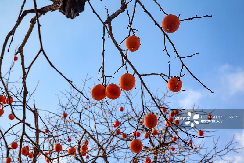 橙色 水果 柿子树 果树 树 户外 饮食 枝 自然 白昼