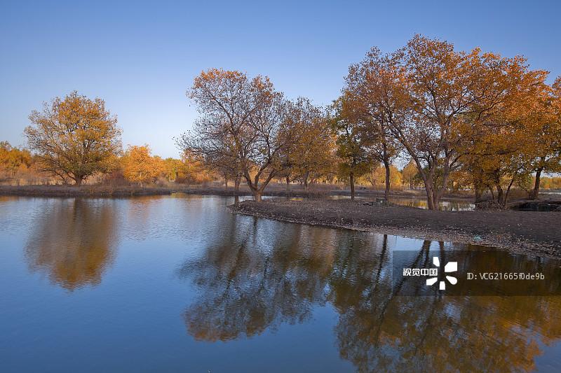 观设计 亚洲 胡杨林 浪漫 放松 著名景点 活力 树 黄色 户外 风景 自然