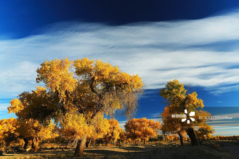 地貌 树林 胡杨林 国内著名景点 亚洲 东亚 活力 内蒙古 树 户外 自然