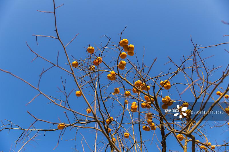 生长 果园 柿子树 种植 环境 植物志 枝 万里无云 健康食物 农业 安静