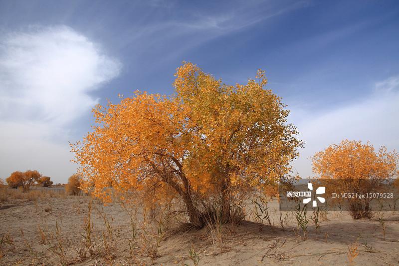 宁静 季节 胡杨林 树 沙丘 活力 户外 黄色 地质学 自然美 白昼 云 自然