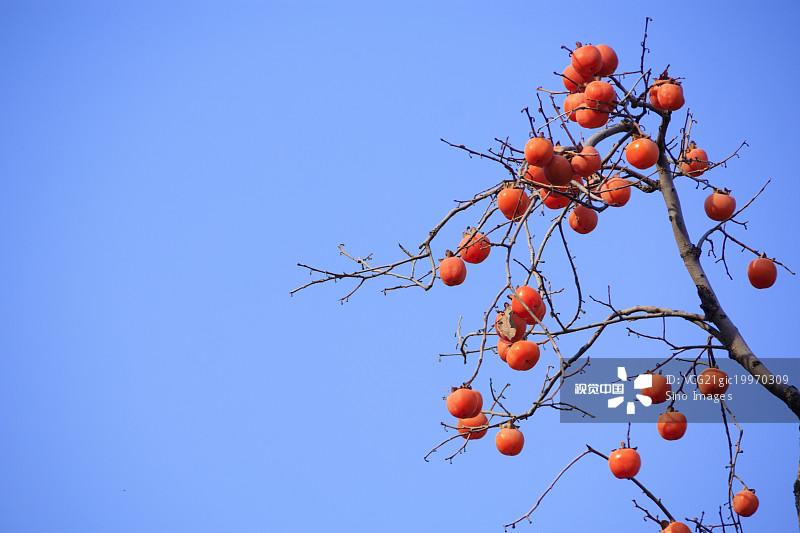 蓝色 生长 柿子树 水果 枝 树 柿子 户外 饮食 收获 无人 白昼 清新