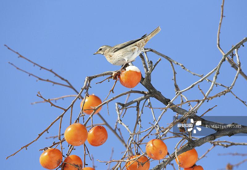 类 枝 水果 柿子 雪 柿子树