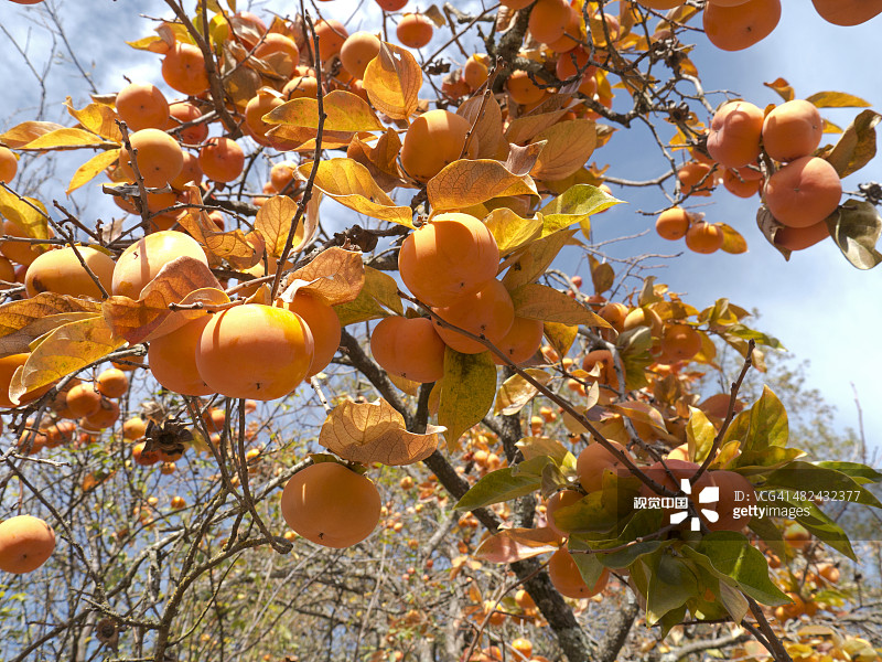 果园 丰富 柿子树