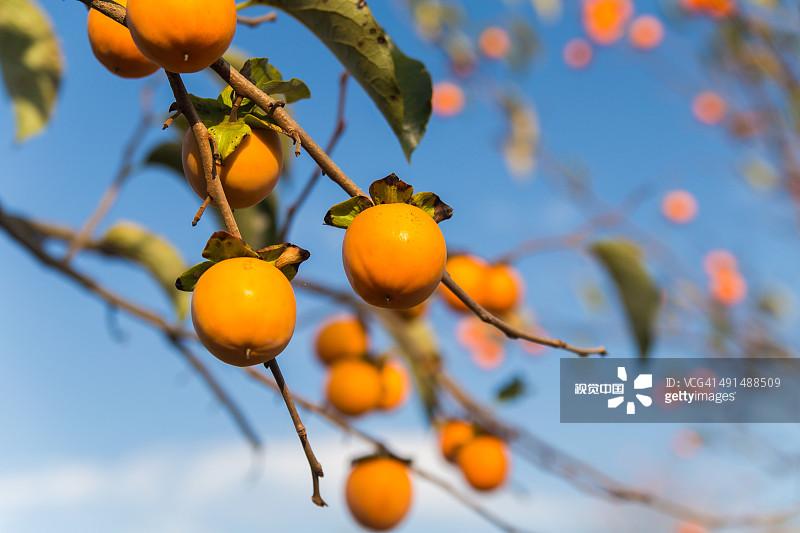白昼 清新 柿子树