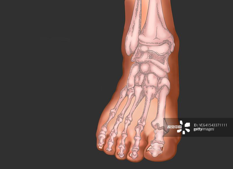 架 人类脚趾 跖骨 手舟骨 灰色背景 腓骨 足 人 骨骼