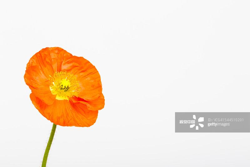 色背景 室内 一个物体 极地罂粟 花 自然 仅一朵花 罂粟类
