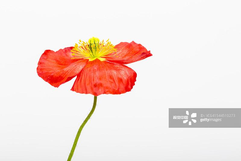 色背景 室内 一个物体 红辣椒 极地罂粟 花 仅一朵花 罂粟类