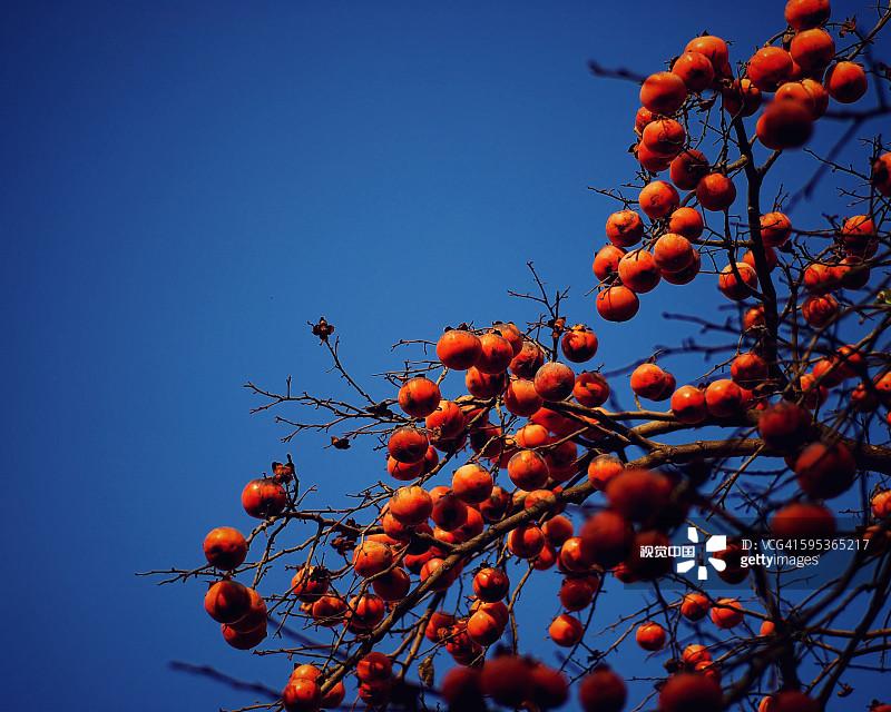 的场景 水果 柿子 柿子树 太阳 青绿色 树 2015年 户外 自然美 万里无