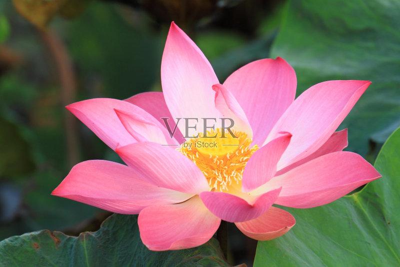 粉色 荷花 花朵 仅一朵花 自然