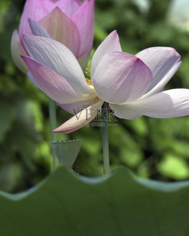 花蕾 荷花 花朵 自然