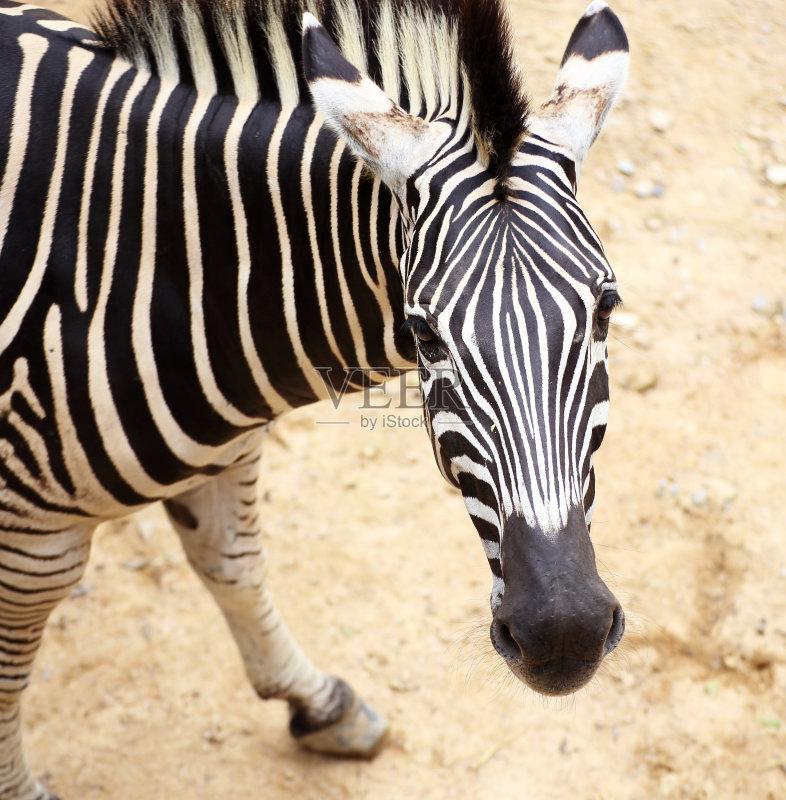 游 动物斑纹 斑马 日落 式样 非洲 站 野外动物 冒险 自然 动物 国内著