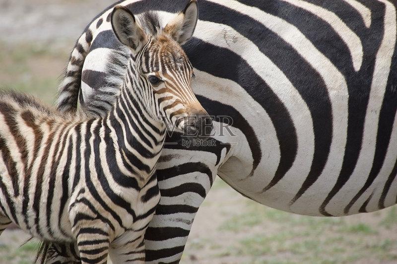 斑马 幼小动物 非洲 野外动物 自然 动物 无人 野生动物 狩猎动物 哺乳纲