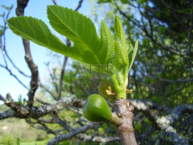 春天 自然 无花果 无人 熟的 无花果树 食品 农业 清新 树 季节 户外