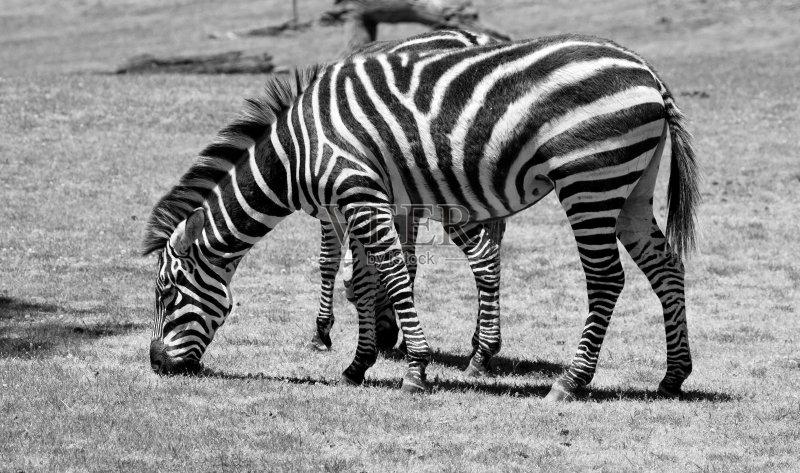 草地 看 斑马 式样 食草动物 自然 运动 脊椎动物 东欧大草原 野生动物