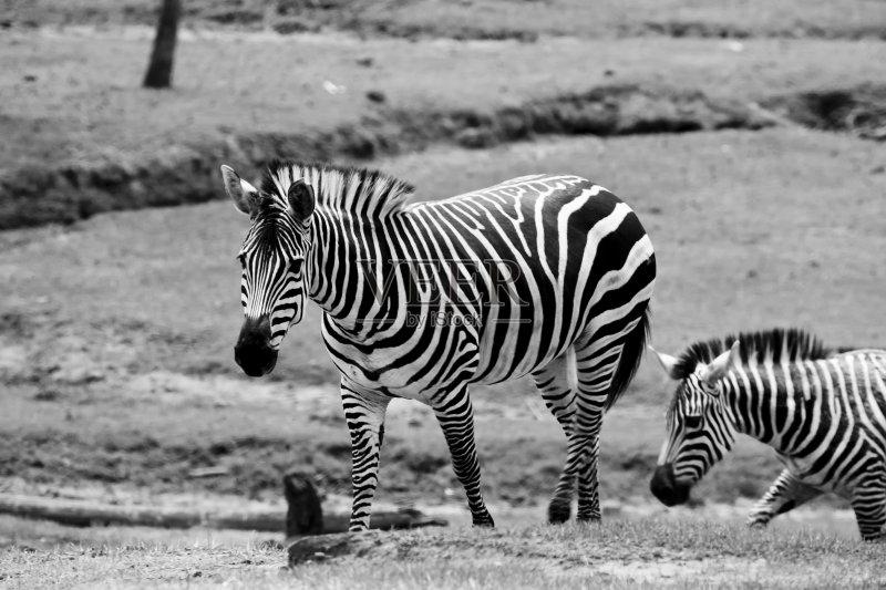 德兰士瓦省 斑马 蹄 Veldt 非洲 有蹄哺乳动物 半干旱 食草动物 自然