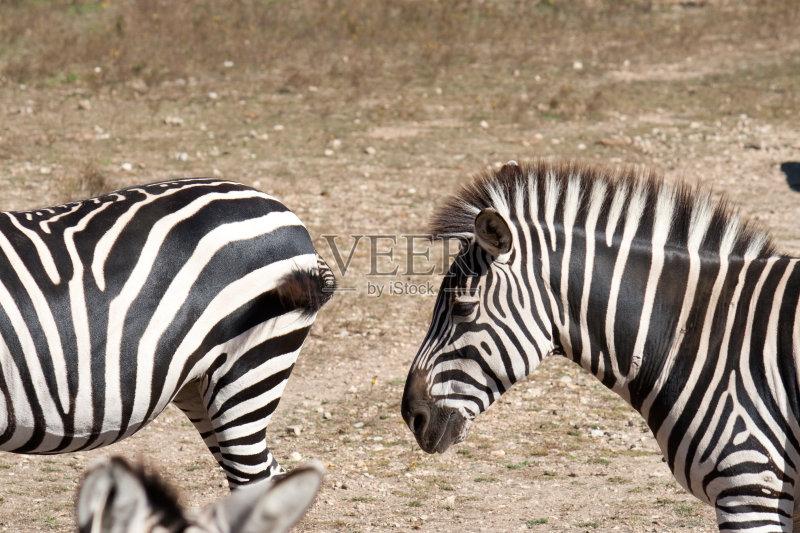 白色 黑色 斑马 狩猎动物 哺乳纲 颈 食草动物 野外动物 动物 条纹