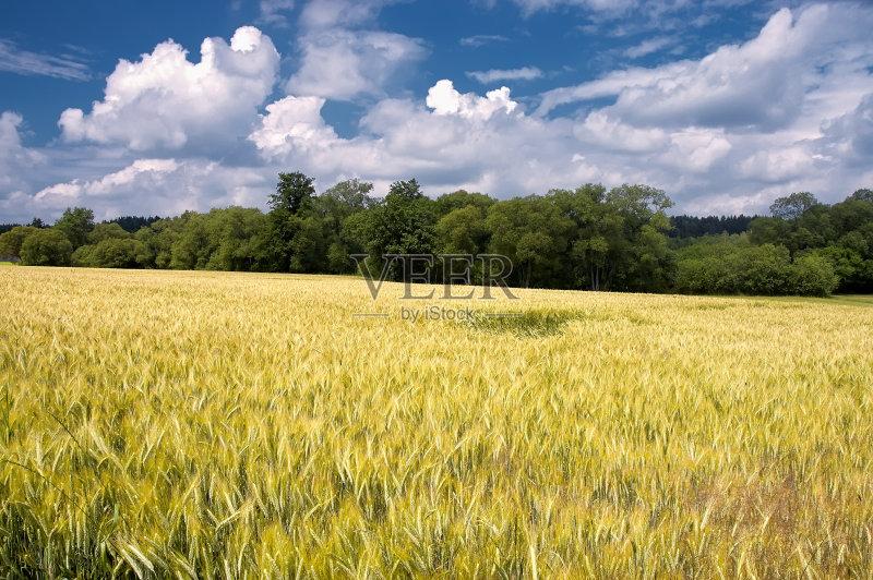 麦田-树林 谷类 绿色 农场 天空 蓝色 夏天 自然 农作物 无人 农业 地形