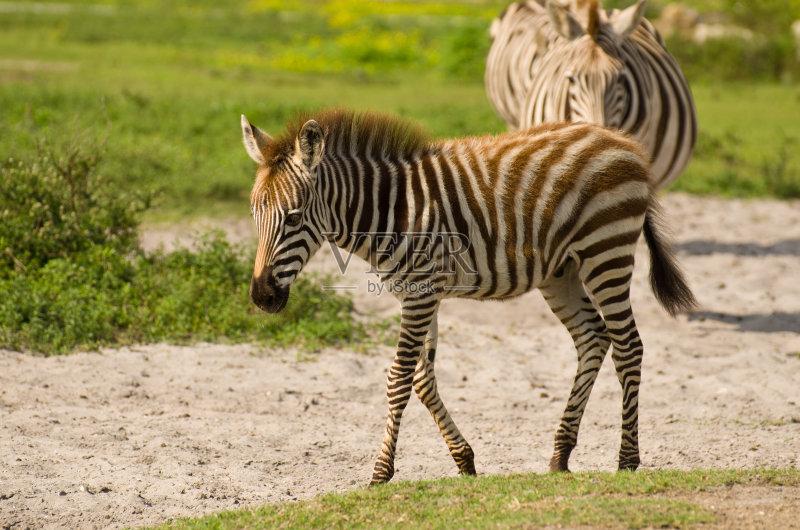 端地形 白色 斑马 自然 儿童 国内著名景点 保护 野生动物 生活方式