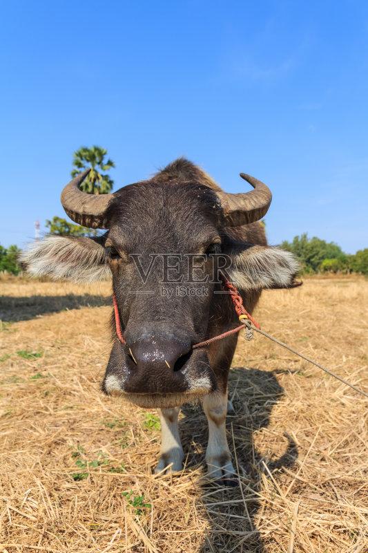 像 雄性动物 水牛 雌性动物 站 农民 天空 自然 亚洲 农业 动物毛发 动
