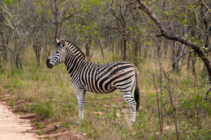 白色 斑马 式样 食草动物 克鲁格国家公园 站 自然 南非 国内著名景点