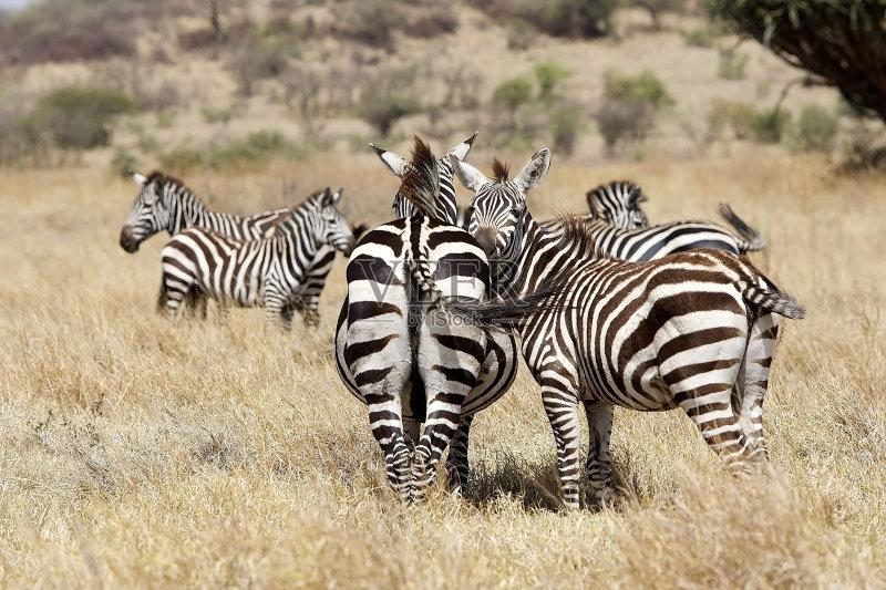 南美大草原 斑马 非洲 有蹄哺乳动物 野外动物 动物 无人 野生动物 动物