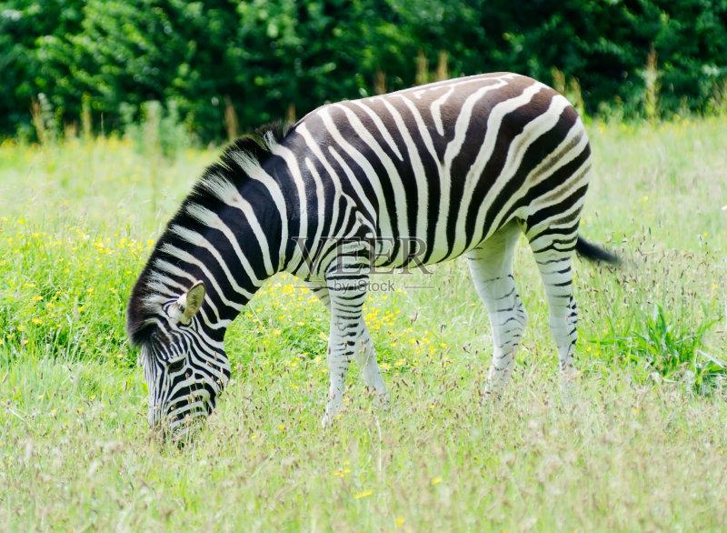 动物斑纹 斑马 寂寞 式样 非洲 饥饿的 食草动物 野外动物 异国情调 自然