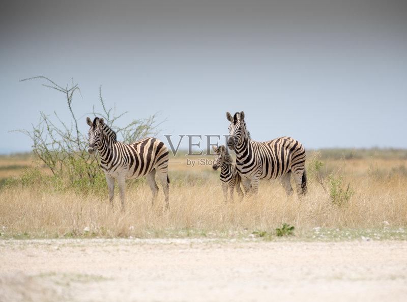 白色 斑马 式样 食草动物 站 自然 平原 野生动物 旅行 狩猎动物 小的 一
