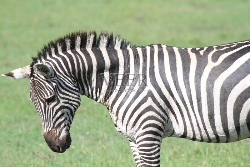 动物斑纹 斑马 式样 柔和 野外动物 肯尼亚 马赛马拉国家保护区 马属