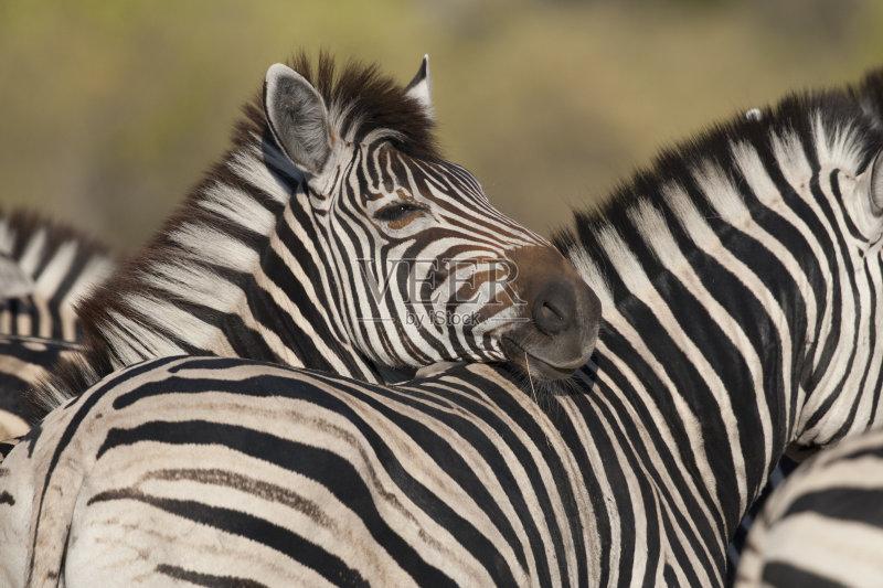 卡万戈三角洲 斑马 非洲 野外动物 自然 动物 野生动物 狩猎动物 哺乳