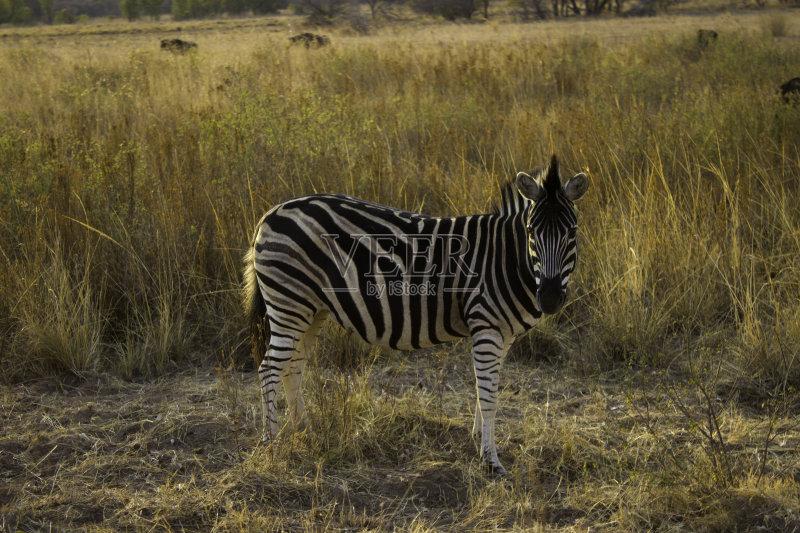 人 野生动物 斑马 狩猎动物 野生动物保护区 野外动物 动物 南非 条纹