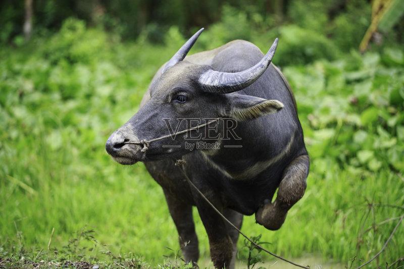 巨大的 肖像 水牛 雌性动物 站 自然 东亚文化 亚洲 野生动物 农业 草 户