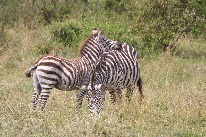 纳米比亚 斑马线 斑马纹 南美大草原 斑马 Veldt 非洲 半干旱 肯尼亚 动