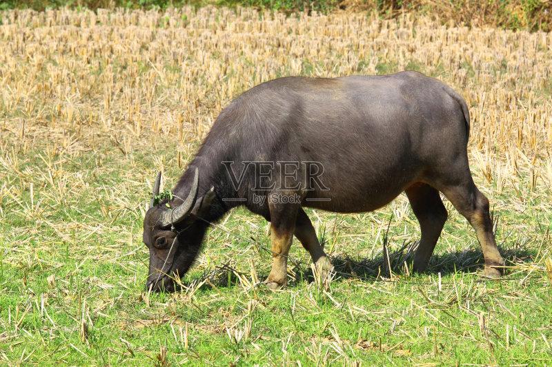 贫瘠的 植物 水牛 牲畜 吃 农场 动物 脊椎动物 泰国 亚洲 热带气候 干