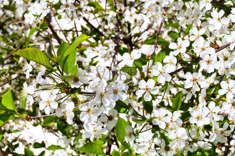 枝 自然 景观设计 白昼 樱桃 樱桃树 地形 季节 嫩枝 背景 户外 苹果树 图片