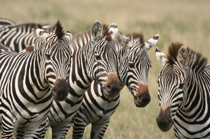 纳米比亚 斑马线 斑马纹 水洞湖 南美大草原 斑马 Veldt 非洲 半干旱 动