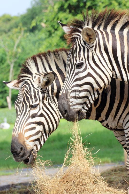 斑马 非洲 牲畜 野外动物 自然 动物 动物躯体的组成部分 野生动物 干的