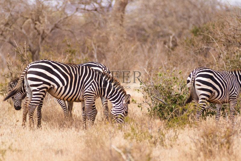 人 野生动物 斑马 哺乳纲 非洲 有蹄哺乳动物 布契尔斑马 马 自然 动物