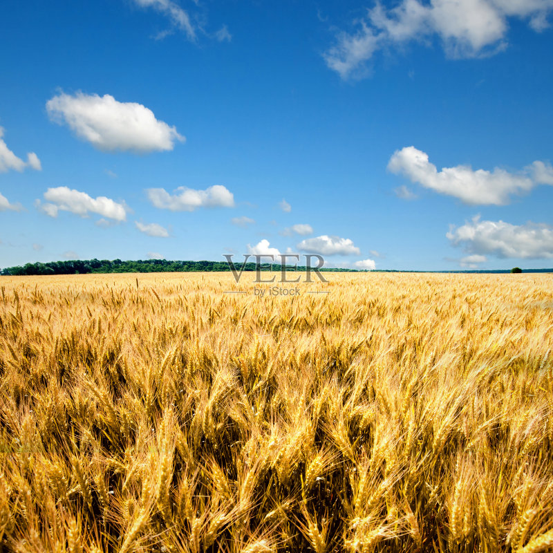 麦田-秋天 谷类 草地 陆地 生长 天空 自然 黄色 白昼 熟的 食品 农业 大