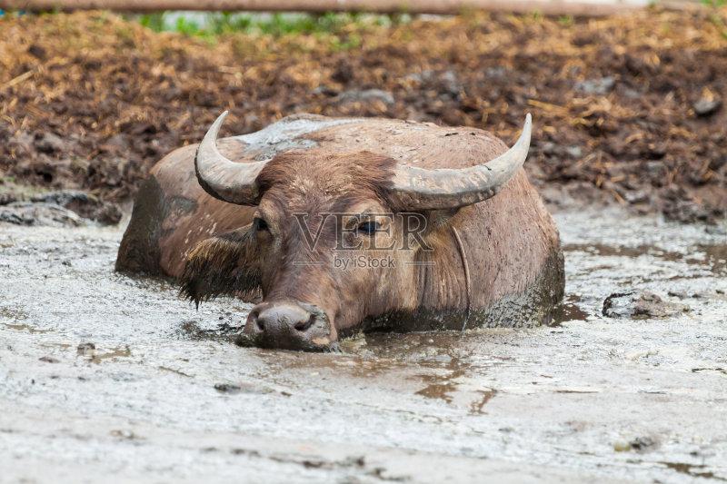 大块头 路 水牛 印度支那 自然 野牛 东亚文化 亚洲 动物群 非都市风光