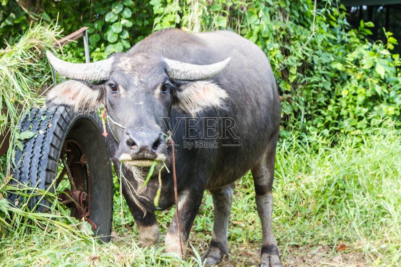 河 生长 牛 水牛 泥 池塘 吃 农场 农民 自然 动物 泰国 亚洲 肉 食品 农