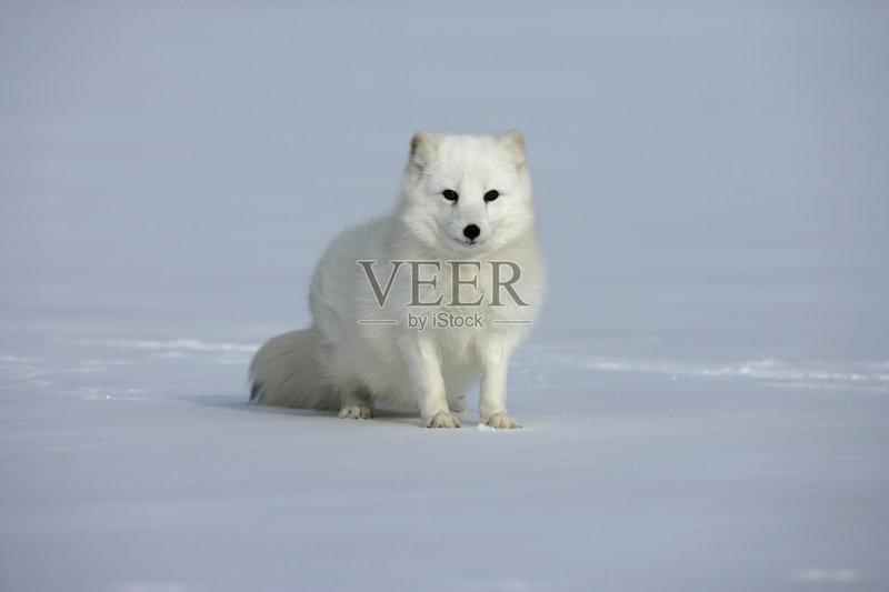 天 野外动物 北极狐 冰 无人 捕食 狐狸 动物毛发 哺乳纲 寒冷 户外图片