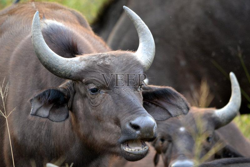 物 雌性动物 水牛 动物 南非