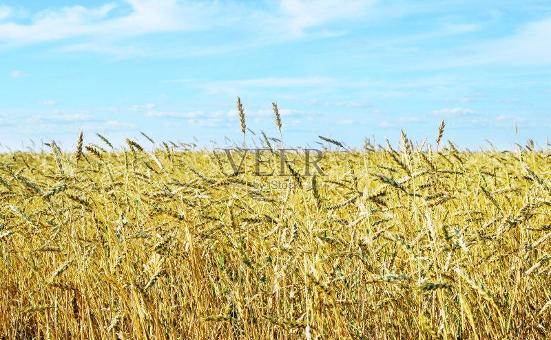 麦田-谷类 尖的 生长 式样 小麦 天空 裸麦 太阳 自然 黄色 让路标志 熟的