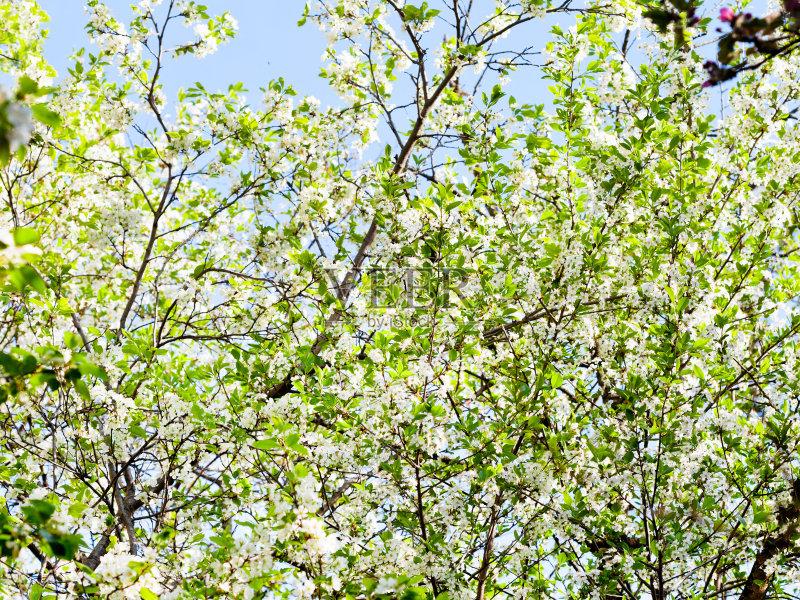 樱桃 苹果花 樱桃树 地形 季节 嫩枝 背景 早晨 户外 苹果树 花瓣 果园 图片