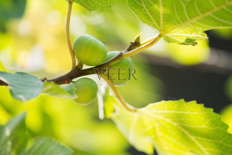 食 枝 自然 无花果 食品 农业 季节 背景 水果 植物学 健康食物 绿色 种