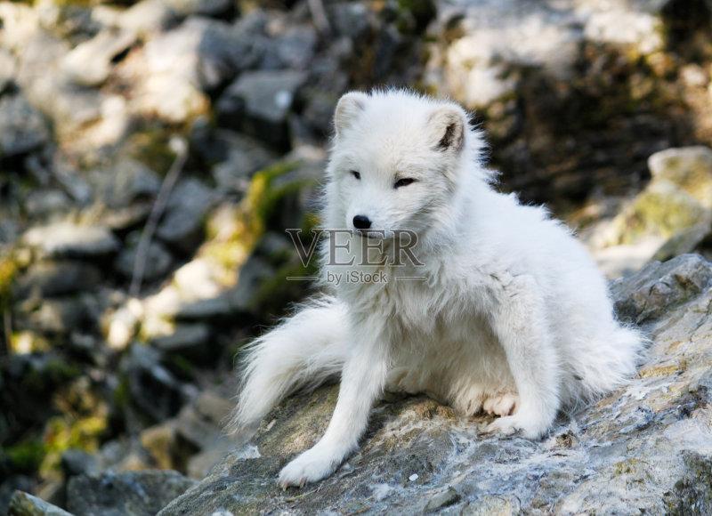 极气候 白色 北极狐 自然 动物 无人 野生动物 狐狸 岩石 拖车 石头 寒图片