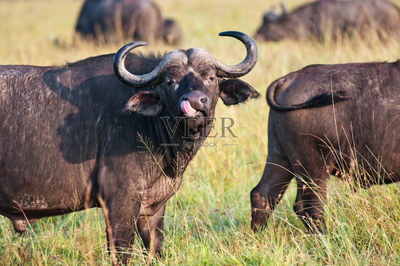 像 雄性动物 水牛 站 动物嘴 非洲水牛 野牛 自然 半干旱 平原 干的 野