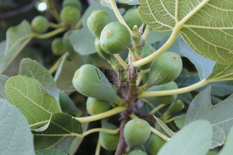 无花果 树林 水果 无人 无花果树 绿色 食品 叶子 植物 树